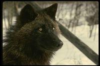 Blackwolf59