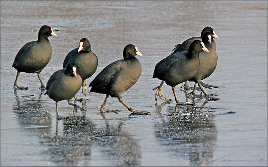 Bläßhühner auf dem Eis....