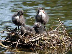 Blässhuhn Nest I (1)