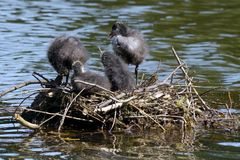 Blässhuhn Nest I (2)