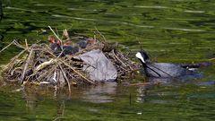 Blässhuhn Nest II (1)