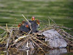 Blässhuhn Nest II (2)