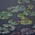 Blätter der Lotusblüte - Kaiserpalast von Hue (Vietnam)