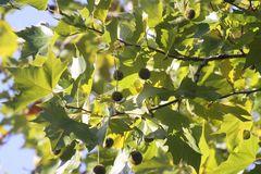 Blätter der Platane
