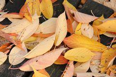 Blätter der Vogelkirsche