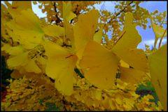 Blätter des Ginkgobaum