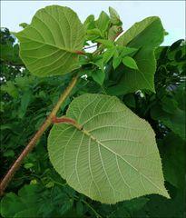 Blätter  eines Gartens