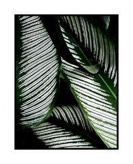 Blätter-Linien
