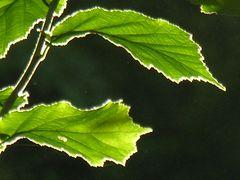 Blätter mit Heiligenschein ....