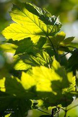 Blätter - sonnendurchflutet