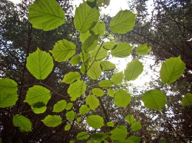 Blätterdach...