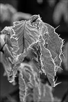 Blätter/Frost