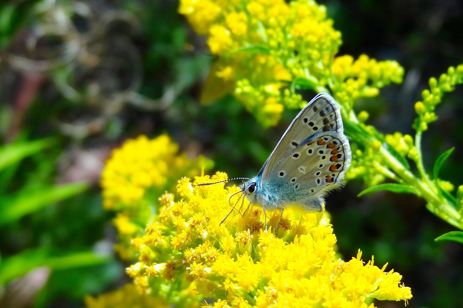 Bläuling auf gelber Blüte