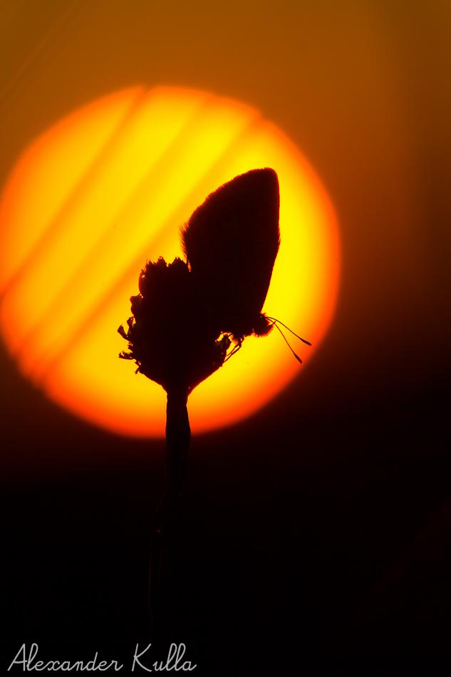 Bläuling im Sonnenaufgang
