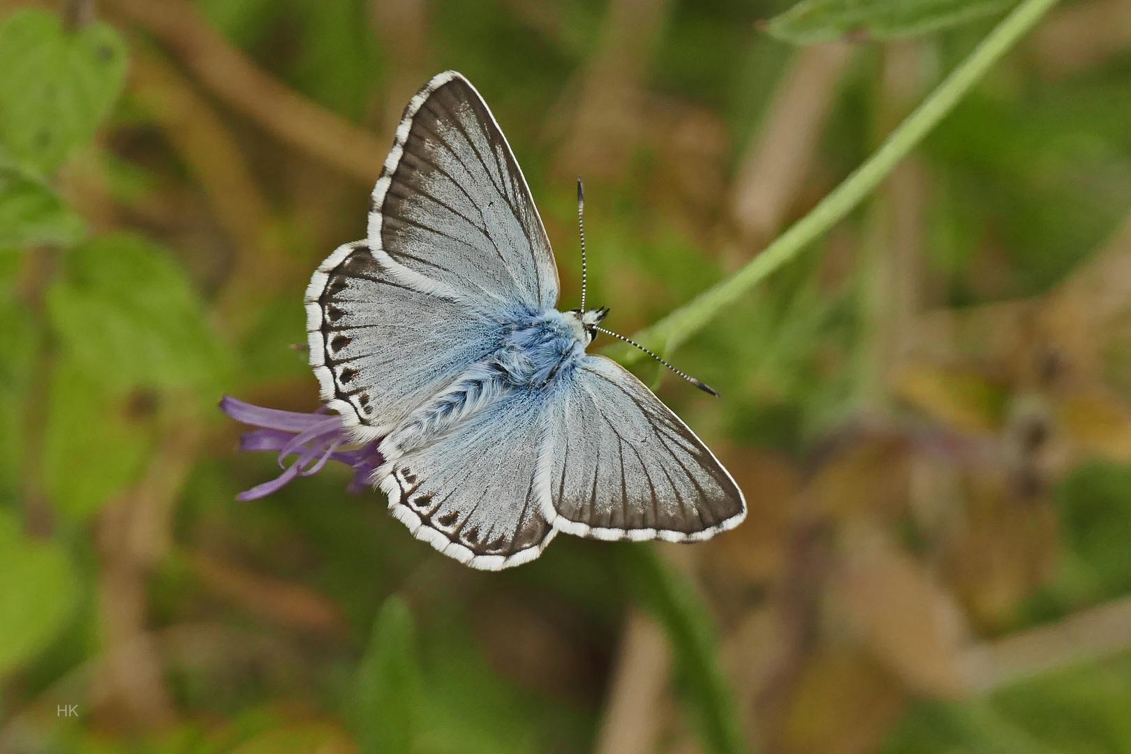 Bläuling (Silbergrüner Bläuling,Polyommatus coridon)