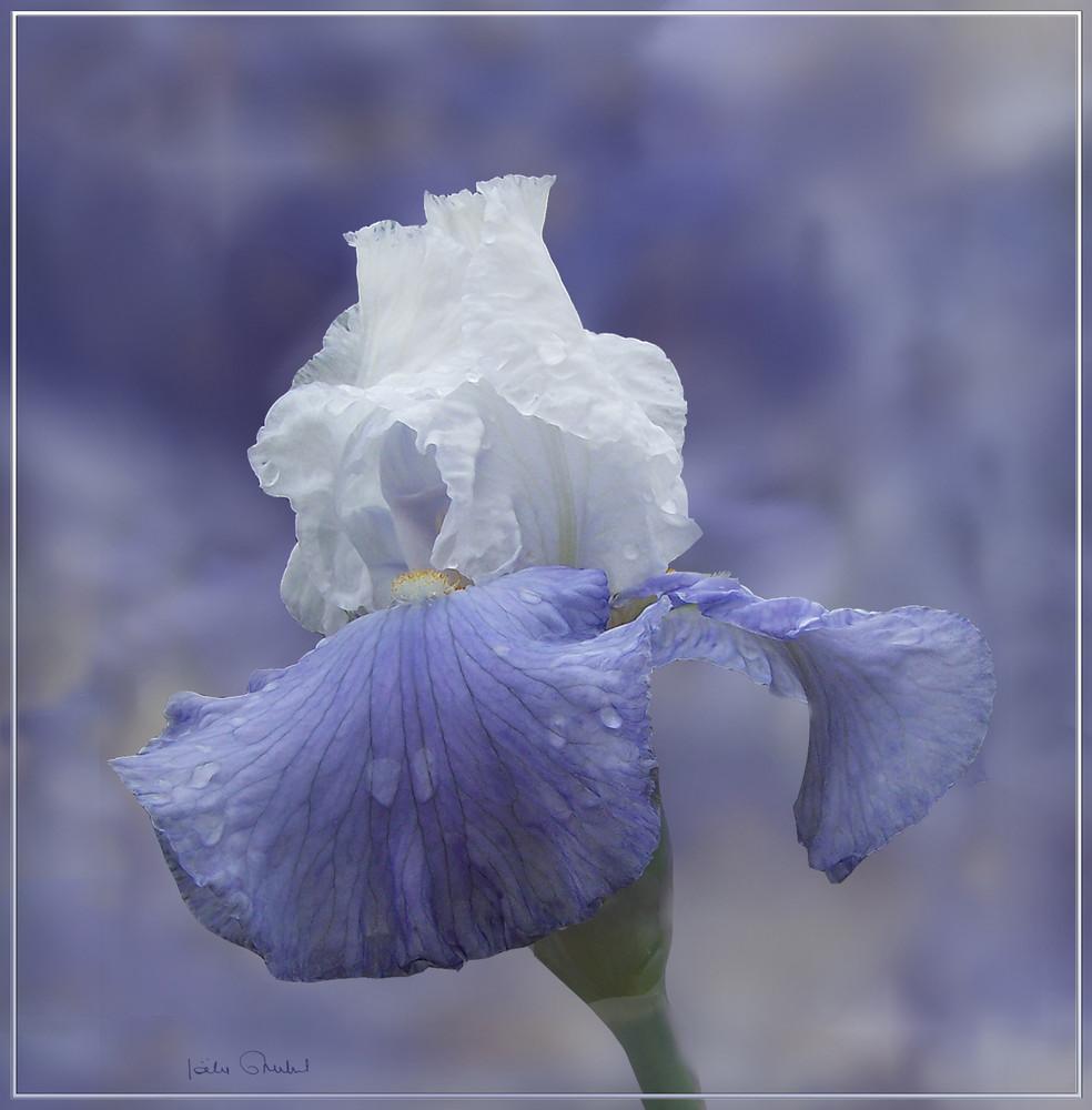 Blanc bleu