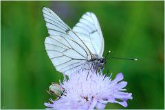Blanca del majuelo # Baumweißling
