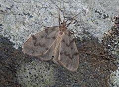 Blankflügel-Flechtenbärchen (Nudaria mundana) - La Mondaine.
