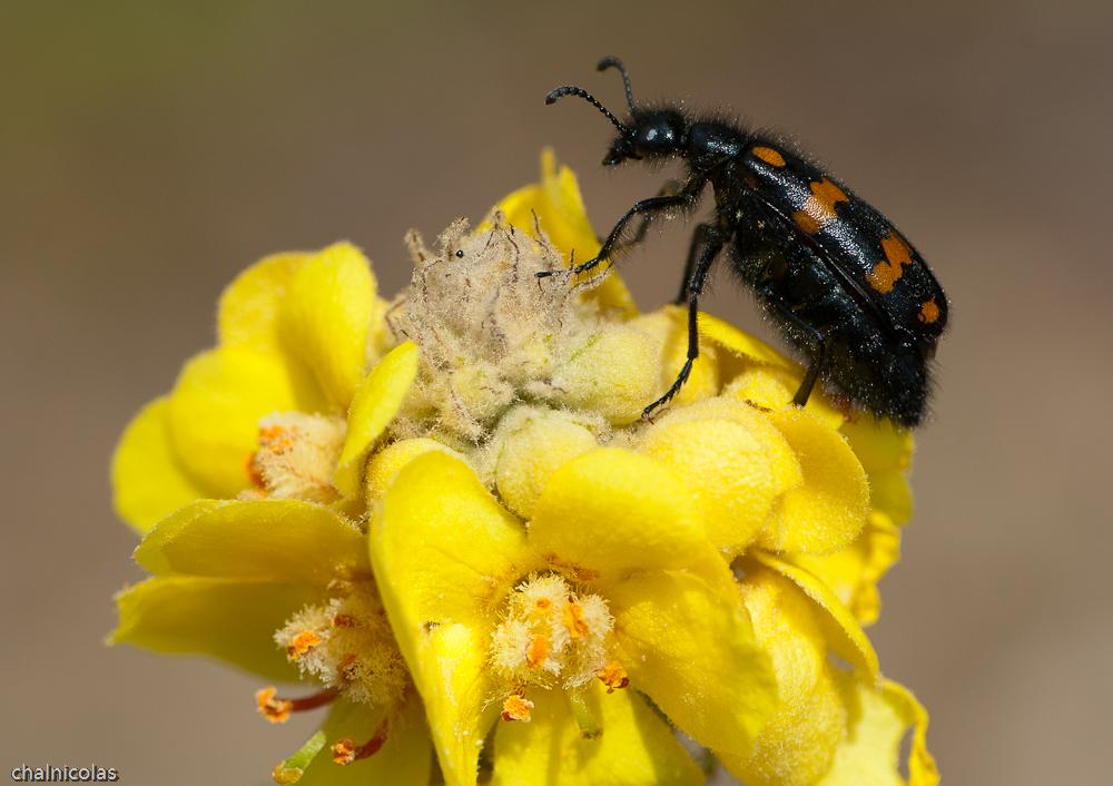 Blasenkäfer (Mylabris sp.)