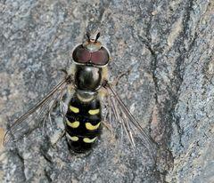 Blasenköpfige Schwebfliege (Scaeva pyrastri) oder Späte Großstirnschwebfliege ? *