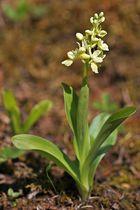 Blasses Knabenkraut (Orchis pallens) 2