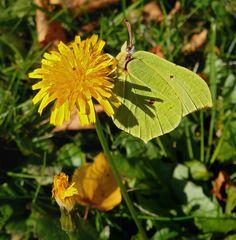 Blatt oder Schmetterling - eine fast perfekte Tarnung?