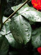 Blatt und der Regen