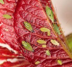 Blattläuse auf Rosenblatt