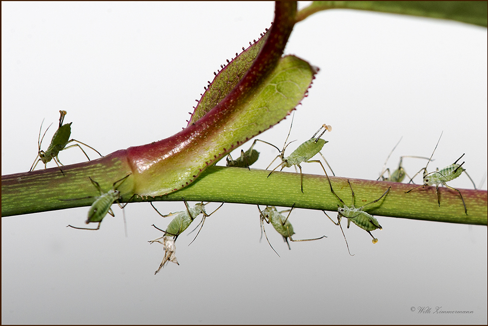 Blattläuse - Leben und vermehren sich...