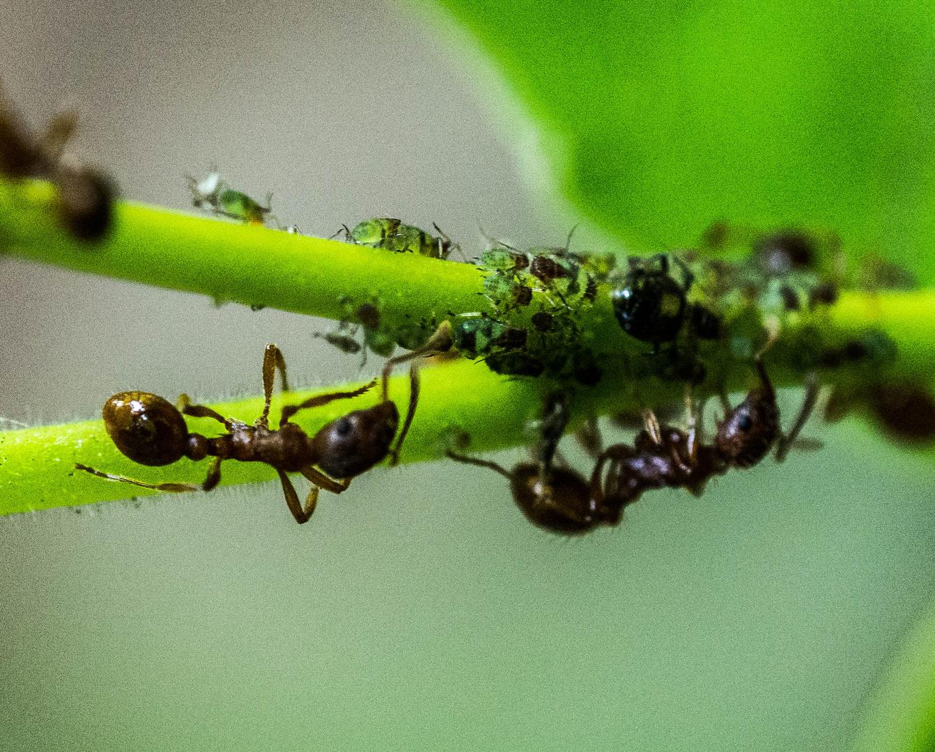 blattl use melken foto bild tiere wildlife insekten bilder auf fotocommunity. Black Bedroom Furniture Sets. Home Design Ideas