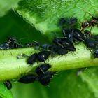 Blattläuse und Ameise