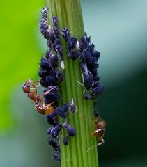 Blattlauspflege