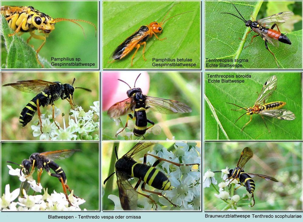blattwespen foto  bild  natur insekten tiere bilder