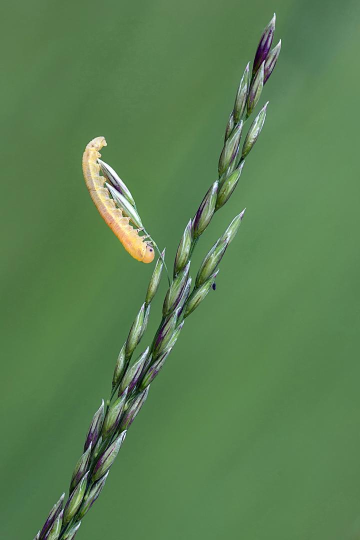 Blattwespenlarve (dolerus gonager)