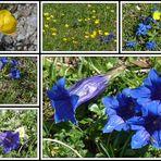 Blau, blau, blau blüht der Enzian . . .