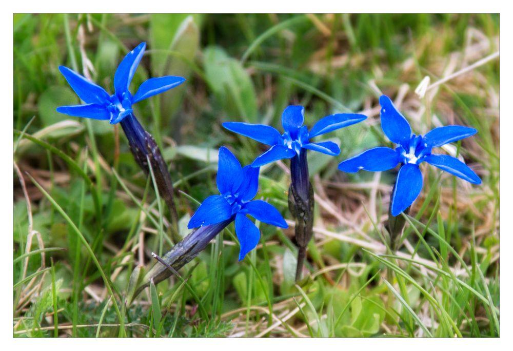 Blau blau blau blüht der Enzian ....