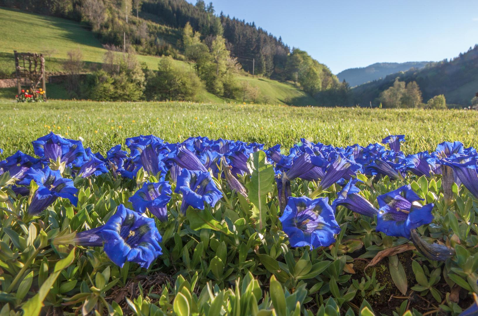 Blau blüht der Enzian Foto & Bild   blau, natur ...