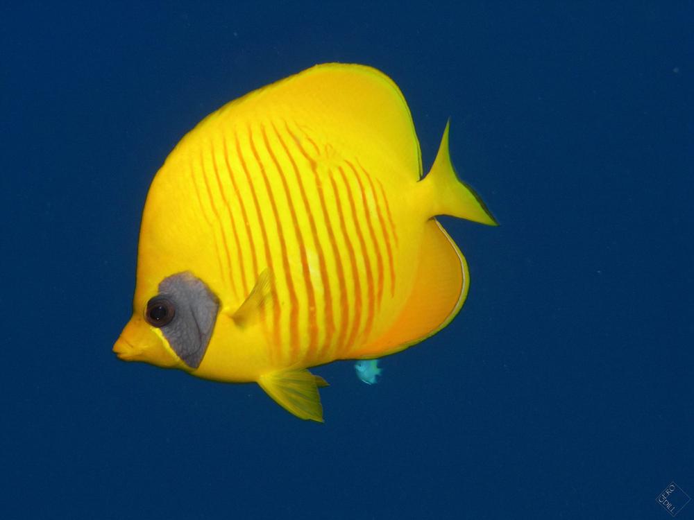 blau gelb foto bild tiere wildlife fische bilder auf fotocommunity. Black Bedroom Furniture Sets. Home Design Ideas