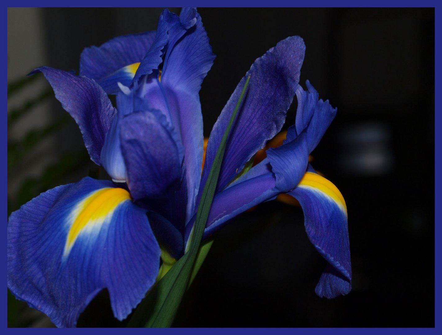 Blau ist meine lieblingsfarbe und diese blüte war schwer sie so hinzubringen