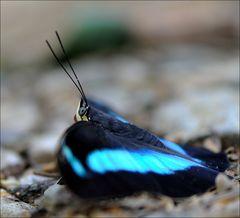Blau-schillernd