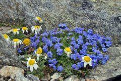 Blau weiß- Himmelsherold und Alpenmargerite (Eritrichum nanum und Leucathemopsis alpina)