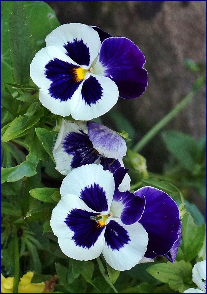 blau-weiße Mittwochsblümchen