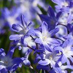 Blau-weißer Sternenhimmel - meine heutigen Mittwochsblümchen
