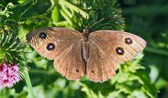 Blauäugiger Waldportier (Minois dryas) - Grand nègre des bois.