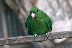 Blaubauch Papagei