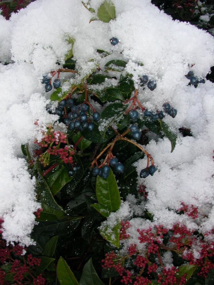 Blaubeeren unter dem neu Schnee :))