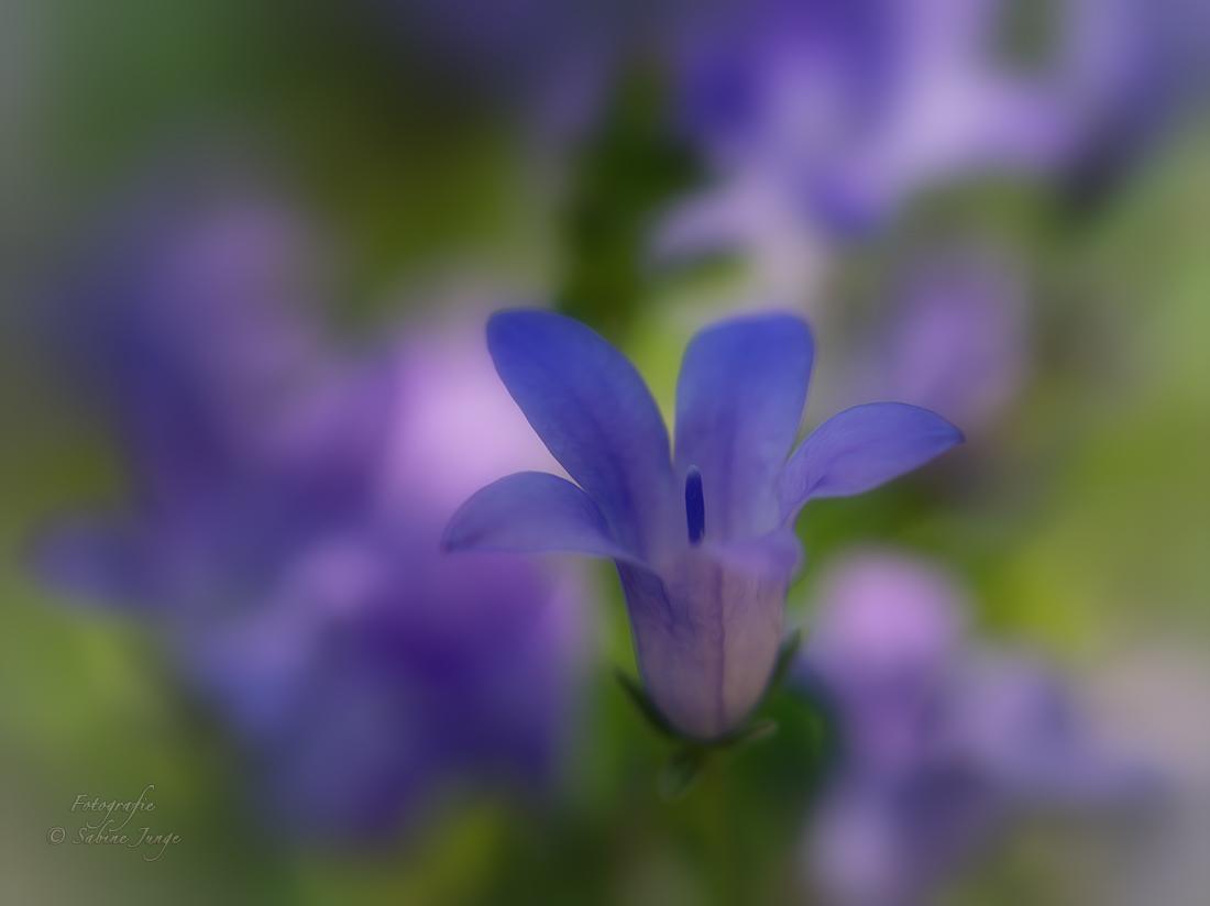 Blaublüher