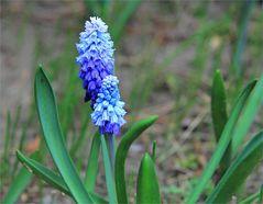 'Blaublütig'