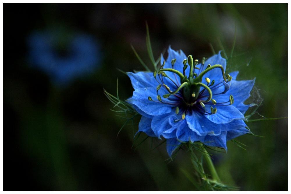 Blaubluetig