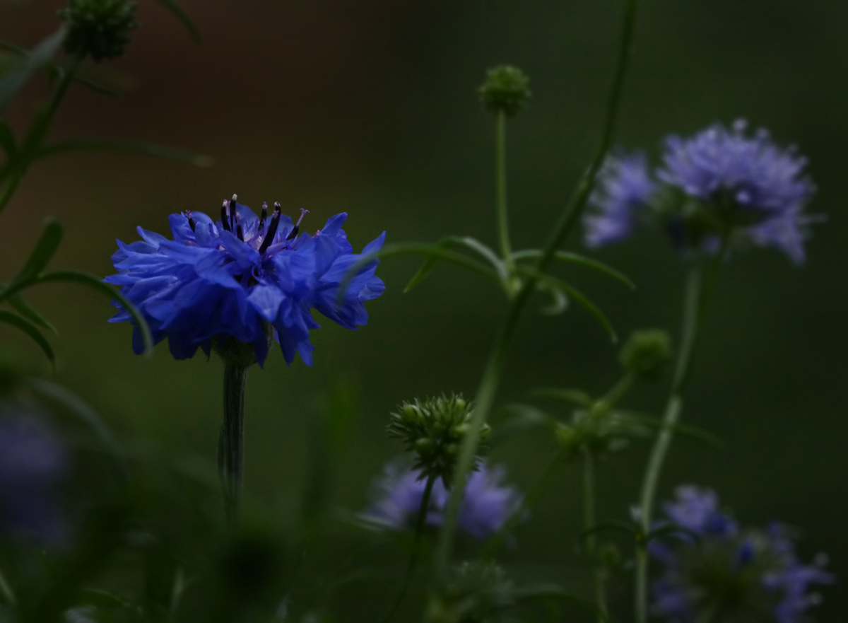 Blaublumelig